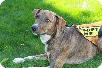 Dalmatian/American Pit Bull Terrier Mix Dog for adoption in Phoenix, Arizona - Shelby