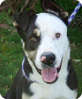 Australian Shepherd/Border Collie Mix Dog for adoption in Red Bluff, California - Doogie