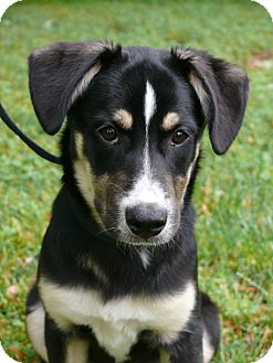 German Shepherd Dog Mix Puppy for adoption in Nashville, Tennessee - Daisy