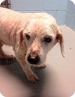 Spaniel (Unknown Type) Mix Dog for adoption in Muskegon, Michigan - Armando