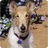 Adopt A Pet :: Tess-adopt hold - Gardena, CA