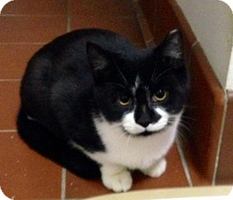 Domestic Shorthair Cat for adoption in Mount Laurel, New Jersey - Raven