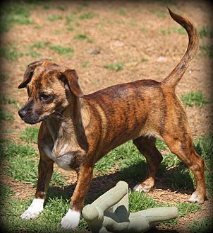 Dachshund Mix Puppy for adoption in Greenville, South Carolina - Brigitte