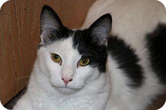Domestic Mediumhair Cat for adoption in O'Fallon, Missouri - Theo
