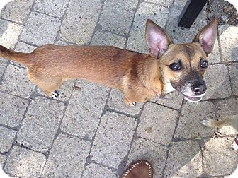 Chihuahua/Terrier (Unknown Type, Small) Mix Dog for adoption in Houston, Texas - A - KEELY