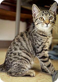 Domestic Shorthair Kitten for adoption in Trevose, Pennsylvania - Prue