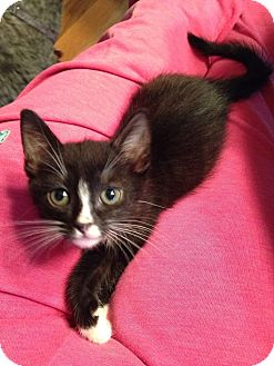 Domestic Shorthair Kitten for adoption in Riverview, Florida - Lil