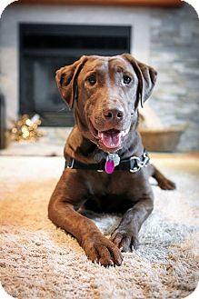 Labrador Retriever Dog for adoption in Rigaud, Quebec - Blaze