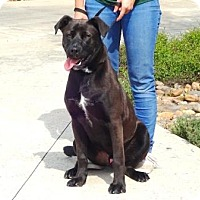 Labrador Retriever Mix Dog for adoption in Lathrop, California - Raider