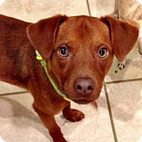 Adopt A Pet :: Copper - McKinney, TX