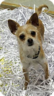 Terrier (Unknown Type, Small) Mix Dog for adoption in Mt. Prospect, Illinois - Whiskers