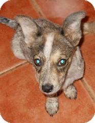 Australian Cattle Dog/Chihuahua Mix Puppy for adoption in dewey, Arizona - Zack