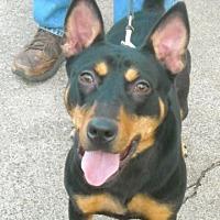 Shepherd (Unknown Type)/Terrier (Unknown Type, Medium) Mix Dog for adoption in Houston, Texas - Rika