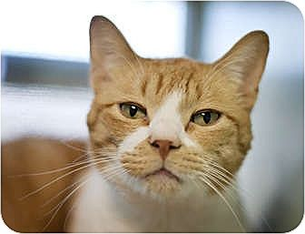 Domestic Shorthair Cat for adoption in Carencro, Louisiana - Marty