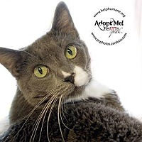 Domestic Shorthair Cat for adoption in Belton, Missouri - Violet