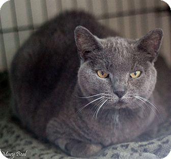 Domestic Shorthair Cat for adoption in Prescott, Arizona - Minnie Pearl