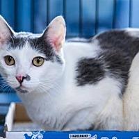 Domestic Shorthair Cat for adoption in New York, New York - Sansa