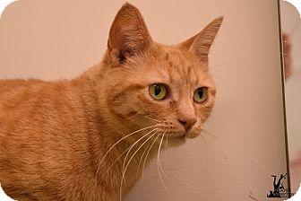 Domestic Shorthair Cat for adoption in Flushing, Michigan - Pumpkin