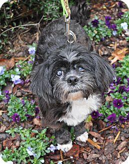 Shih Tzu Dog for adoption in Atlanta, Georgia - Millie