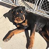 Adopt A Pet :: Penny - New Smyrna Beach, FL