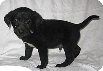 Labrador Retriever Mix Puppy for adoption in Pilot Point, Texas - Bowie