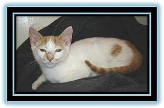 Domestic Shorthair Kitten for adoption in Easley, South Carolina - Pumpkin