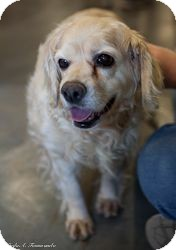 Cocker Spaniel Dog for adoption in Loudonville, New York - Barbara Walters