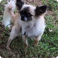Adopt A Pet :: Buzz - Edmond, OK