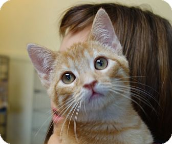 Domestic Shorthair Kitten for adoption in Greenfield, Indiana - Padma