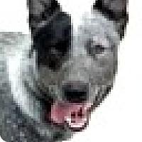Adopt A Pet :: Sky-ADOPTION PENDING - Boulder, CO