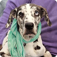 Adopt A Pet :: Shiloh-PENDING - Garfield Heights, OH