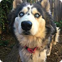 Adopt A Pet :: Denali - Tucson, AZ