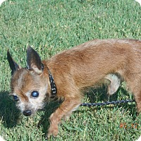Adopt A Pet :: scruffy - haslet, TX