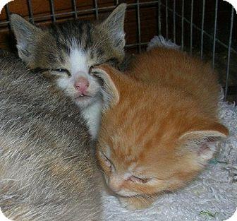 Domestic Shorthair Kitten for adoption in Yakima, Washington - White Nosed Tabby/White