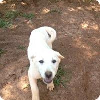 Adopt A Pet :: Lab puppies - hartford, CT