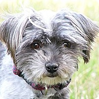 Adopt A Pet :: Peapod - Mocksville, NC
