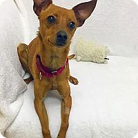 Adopt A Pet :: Link - Mission Viejo, CA