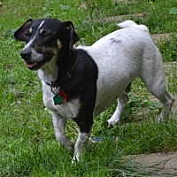 Jack Russell Terrier/Beagle Mix Dog for adoption in Brighton, Tennessee - Travis (Fostered in New England)