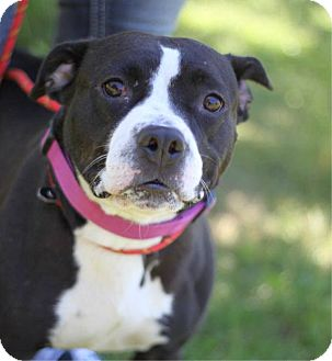 Staffordshire Bull Terrier/Labrador Retriever Mix Dog for adoption in South Haven, Michigan - Mila Kunis