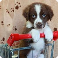 Adopt A Pet :: Mackay - Salem, NH