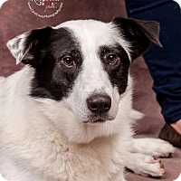Border Collie Mix Dog for adoption in Cincinnati, Ohio - Sweden - SPONSORED