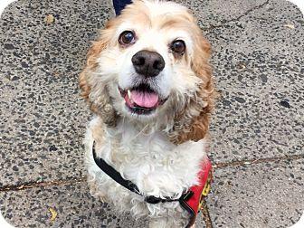 Cocker Spaniel Mix Dog for adoption in Philadelphia, Pennsylvania - Sophie