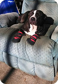 American Staffordshire Terrier Mix Dog for adoption in Sacramento, California - Mercy, looking for love!