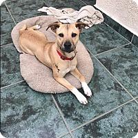Shepherd (Unknown Type)/Labrador Retriever Mix Puppy for adoption in BONITA, California - Bonita