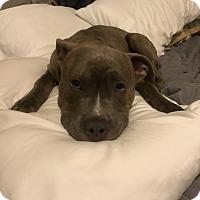 American Pit Bull Terrier Mix Puppy for adoption in Philadelphia, Pennsylvania - Bodhi