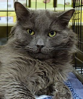 Domestic Longhair Cat for adoption in Las Vegas, Nevada - Triumph