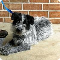 Adopt A Pet :: PASHA - Washington, DC