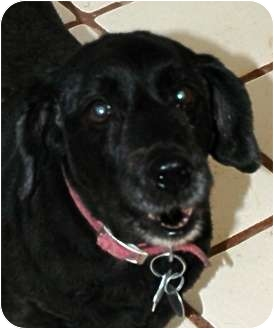 Cocker Spaniel/Dachshund Mix Dog for adoption in Phoenix, Arizona - Reggie
