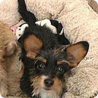 Adopt A Pet :: Brando - 4 lbs of love! - Phoenix, AZ