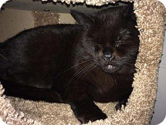Domestic Shorthair Cat for adoption in Brampton, Ontario - Georgia